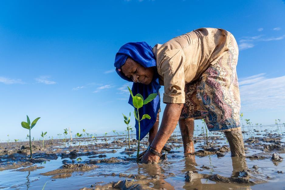 En kvinna står böjd över en planta på ett fält i Östtimor. Hon planterar mangrove.