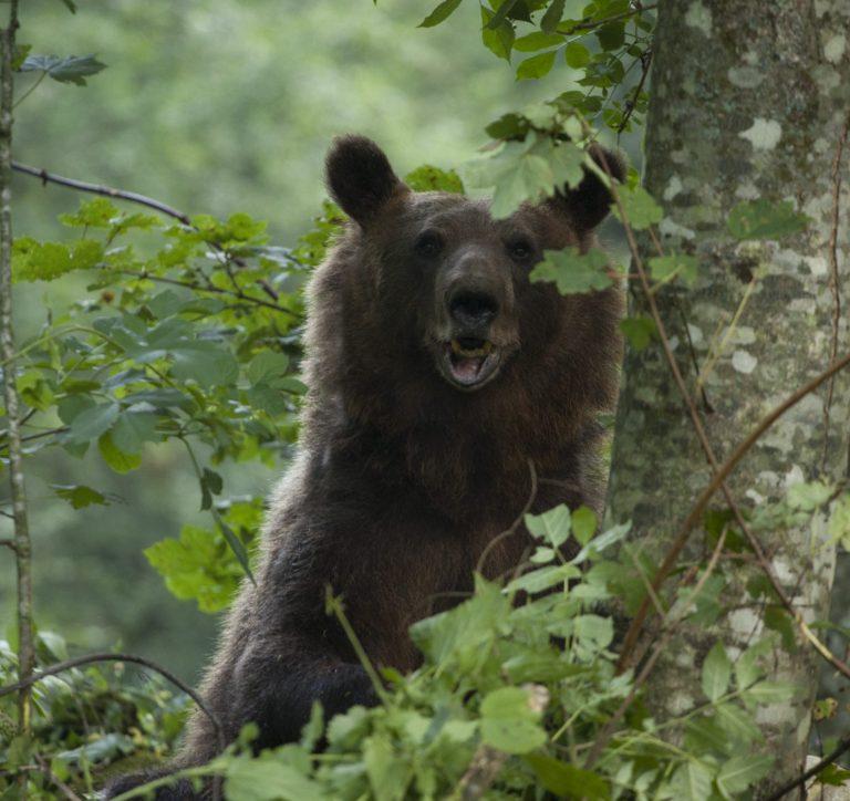 En brunbjörn titttar fram bakom ett träd.