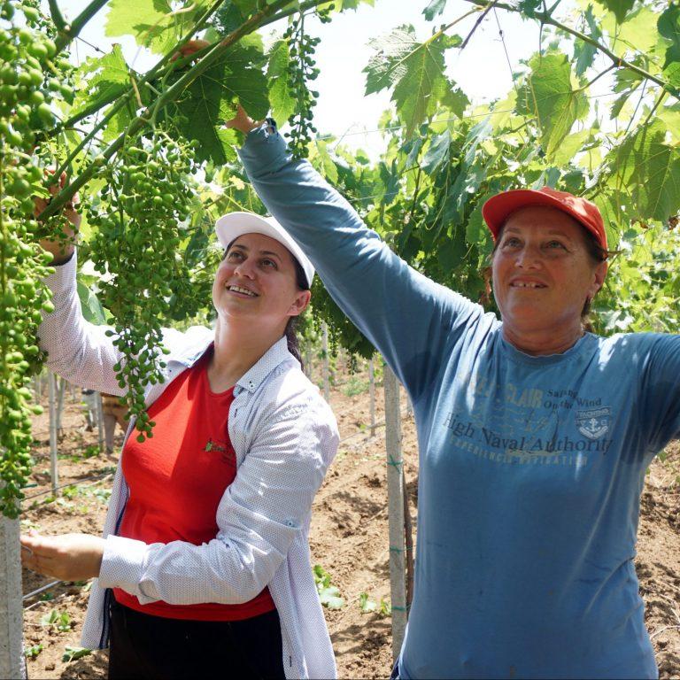 Vaska och Trena står och plockar vindruvor på ett fält. De ler och bär keps.